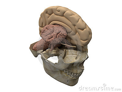 Human scull, brain hemisphere and cerebellum