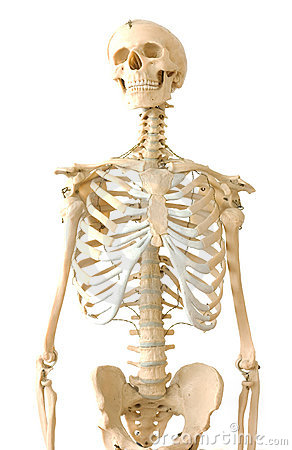 Free Human Skeleton Royalty Free Stock Photography - 11078617