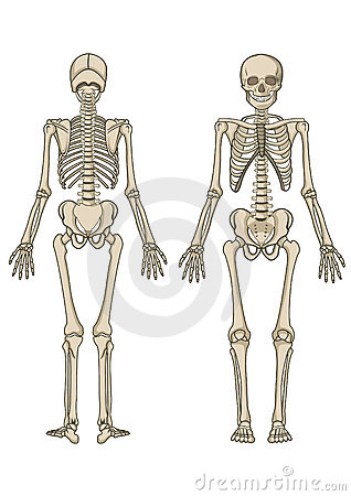 Human skeleton in
