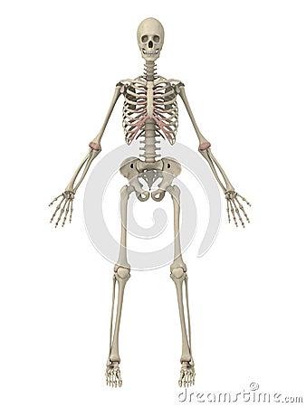 Free Human Skeleton Stock Images - 5499024