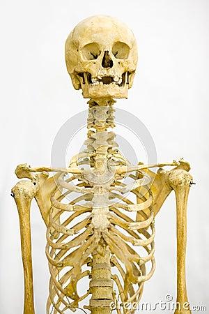 Free Human Skeleton Stock Photography - 7788742