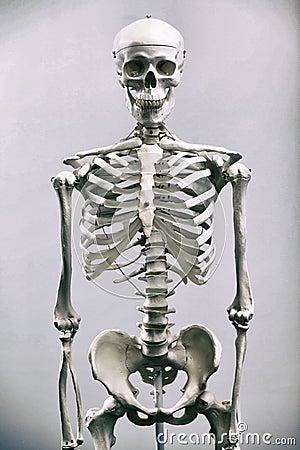 Free Human Skeleton Royalty Free Stock Photo - 83535665