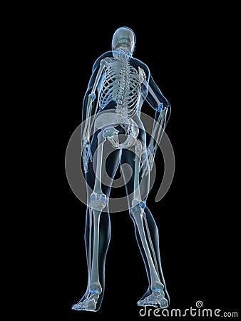 Human skeleton- backside