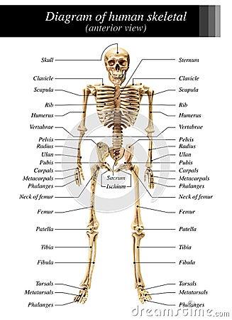 Free Human Skeleton Diagram Royalty Free Stock Photography - 73338717