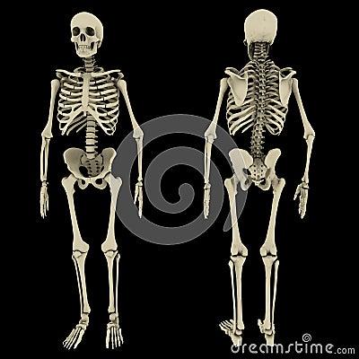Human skeleton double view