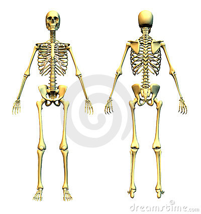 Human Skeleton - Front and Back