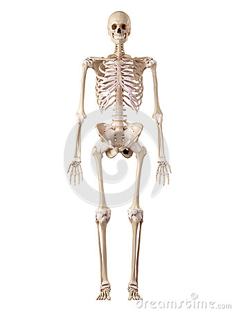the human skeleton and ligaments stock illustration - image: 56644946, Skeleton