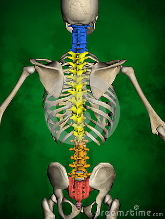Free Human Skeleton M-SK-POSE Bb-56-14, Vertebral Column, 3D Model Royalty Free Stock Photography - 83225377