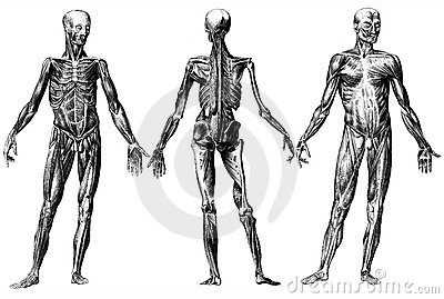 Human Skeleton and Muscles