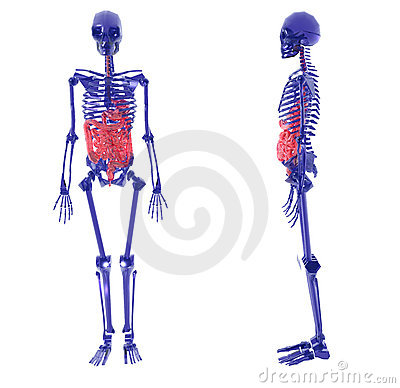 Human Skeleton over White Bad Stomach