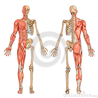 my new inspiration: Muscular system and Skeletal system