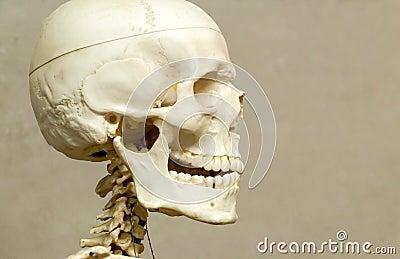 Human skeleton and skull