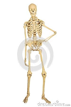 Free Human Skeleton Standing Royalty Free Stock Photos - 9167828