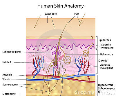 Human skin anatomy, labeled version