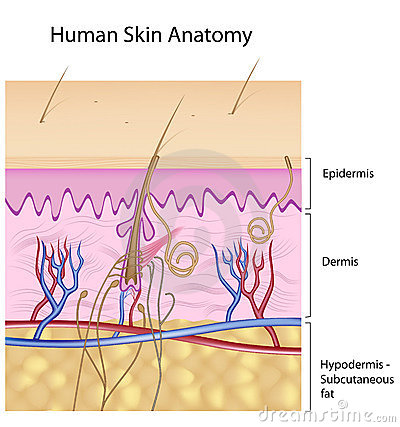 Human skin anatomy, non-labeled version