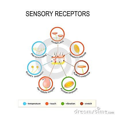 Free Human Skin And Sensory Receptors. Royalty Free Stock Photo - 84441495