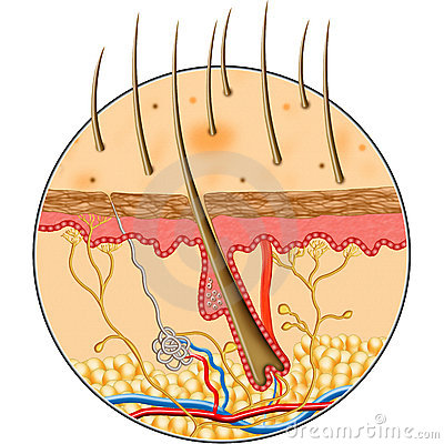 Human Skin inside structure