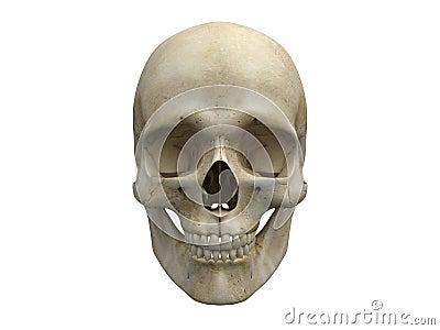 Human skull bones frontal view