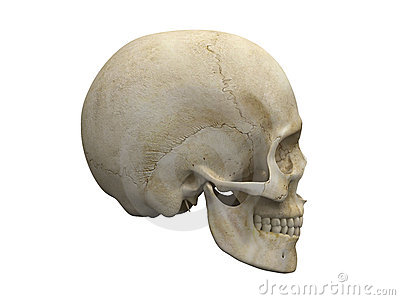 Human skull bones side view