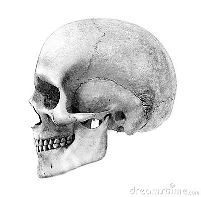 Free Human Skull - Side-View - Pencil Drawing Style Royalty Free Stock Photography - 1758057