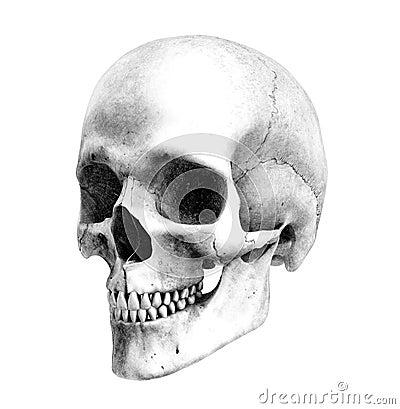 Free Human Skull - Three-Quarter-View - Pencil Drawing Style Stock Image - 1758001