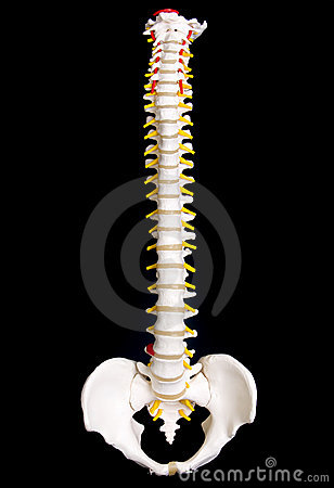 Free Human Spine Stock Images - 146364