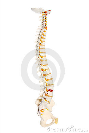 Free Human Spine Royalty Free Stock Photography - 17044527