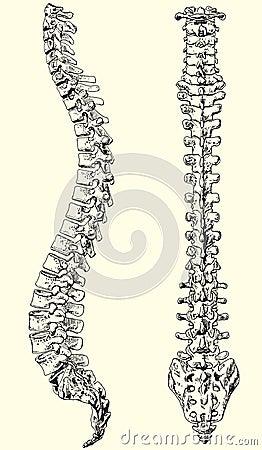 Free Human Spine Stock Image - 20009251