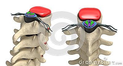 Human spine in details: Vertebra, bone marrow