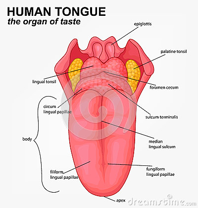 All About Tonsil Pictures Anatomy Amp Function Body Maps Kidskunst
