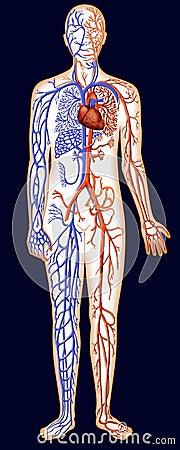 Human Vascular System