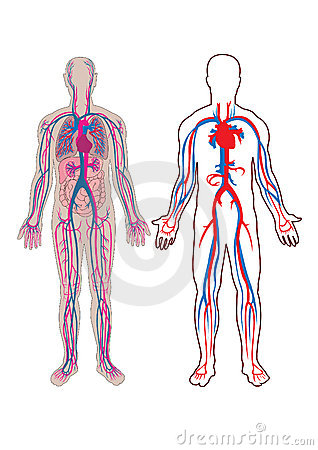 Human vein in