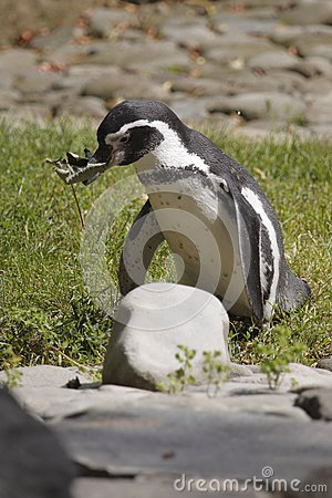 Humboldt Penguin Stock Photo - Image: 15239950