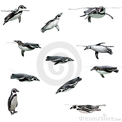 Free Humboldt Penguin Stock Images - 8498654