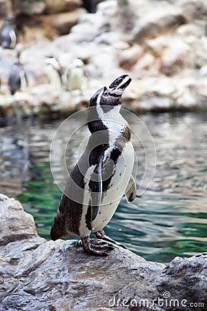 Humboldt Penguin on the stone coast