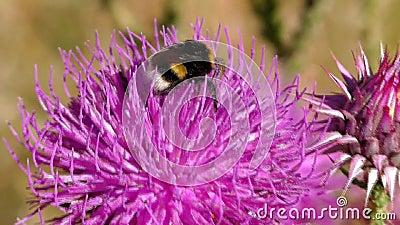 Humla på blomman som samlar pollen