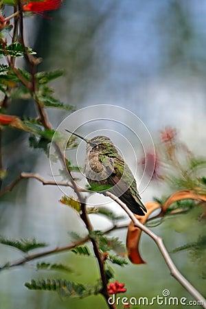 Free Humming Bird Royalty Free Stock Images - 15708729
