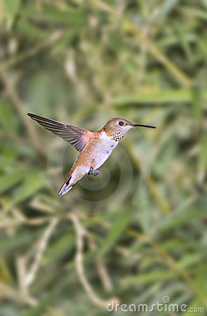 Humming Bird Royalty Free Stock Images - Image: 3345519