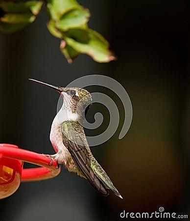 Free Humming Bird Stock Photography - 6509702
