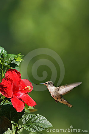 Free Humming Bird Approaching Flower Portrait Stock Image - 6137691