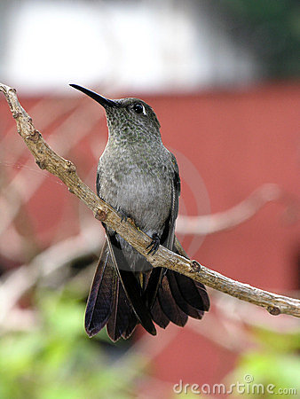 Free Humming Bird At Rest 7 Stock Photography - 389522