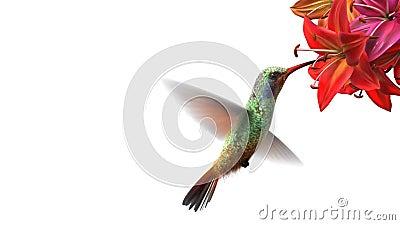 Humming bird. Beautiful 3d animation