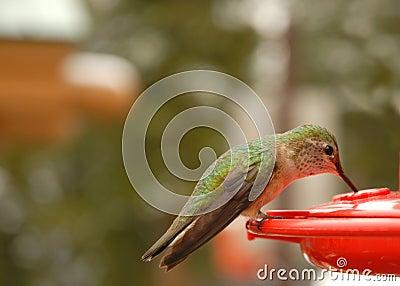 Humming Bird Drinking