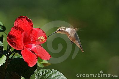 Humming Bird Feeding on Flower Landscape