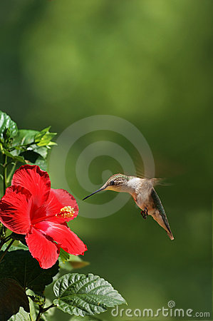 Free Humming Bird Feeding On Flower Portrait Stock Photo - 6137710