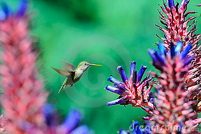 Humming Bird flying around aloe flowers