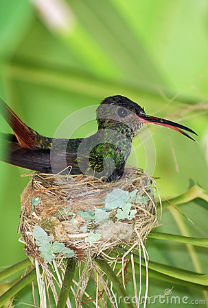 Free Humming Bird In Nest Stock Photography - 66363292