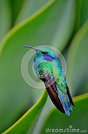 Free HUMMING BIRD Tiny 7 Stock Images - 39826374