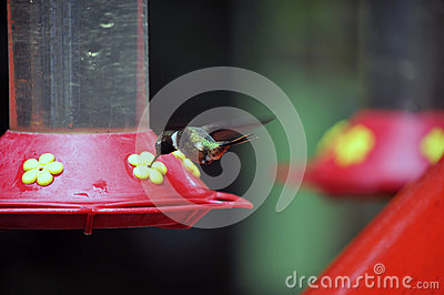 Humming Bird about to feed