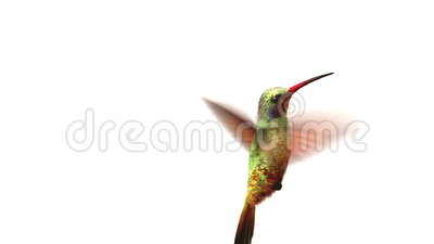 Humming bird on white background. 3d animation. set your own flower